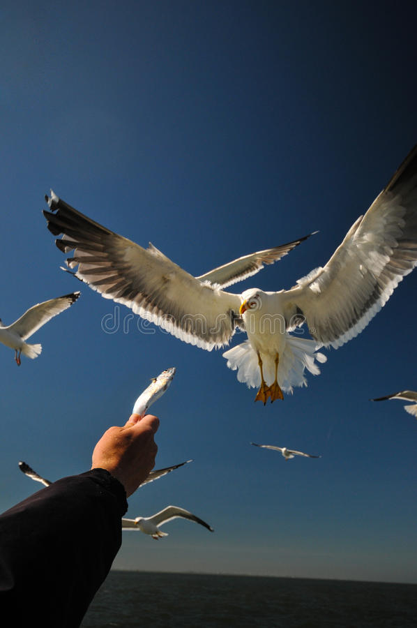 Lesser black-backed gull. Attakt fish royalty free stock image