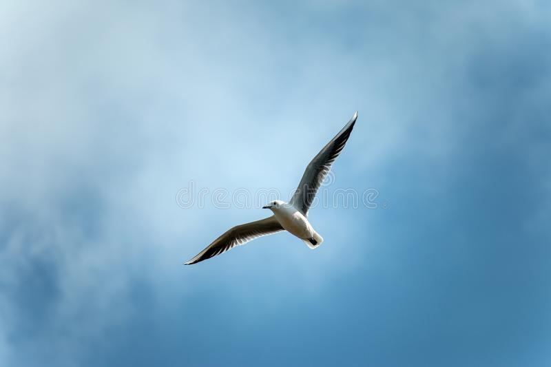 Larus. The lesser black-backed gull Larus fuscus flying to cloud the sky background stock photography