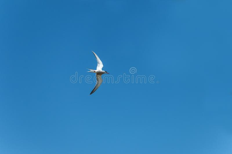 Larus. The lesser black-backed gull Larus fuscus flying to cloud the sky background stock photos