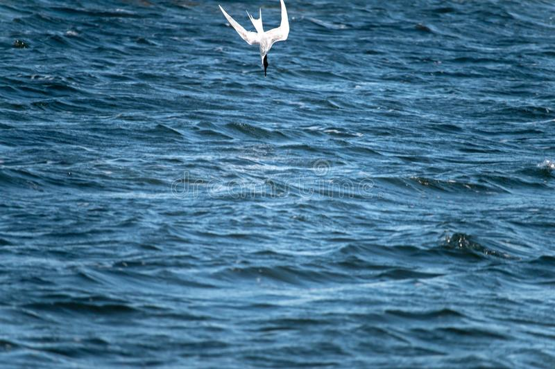 Larus. The lesser black-backed gull Larus fuscus flying to cloud the sky background royalty free stock image
