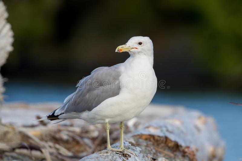 Lesser black-backed gull Larus fuscus. At the beach of Port Renfrew on Vancouver Island, British Columbia, Canada royalty free stock photos