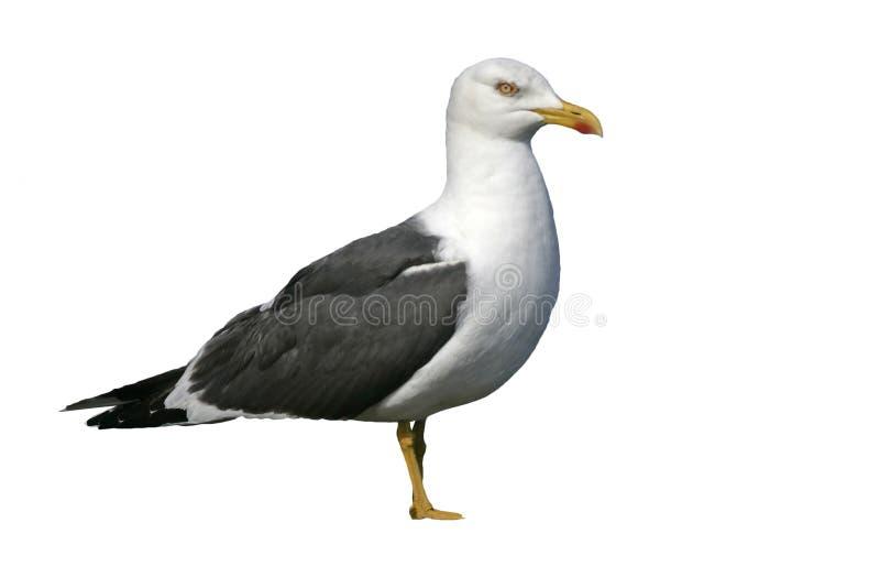 Lesser black-backed gull, Larus fuscus. Single bird on rock royalty free stock photography