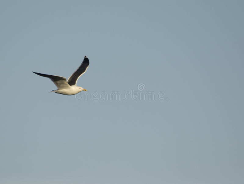 Lesser Blacked Back Gull images libres de droits