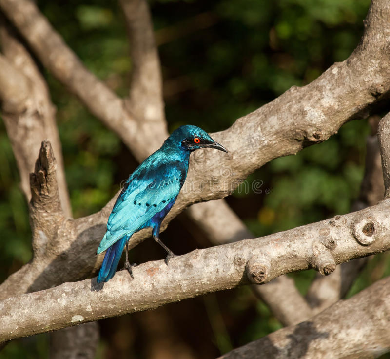 Free Lesser Blue-eared Glossy Starling Royalty Free Stock Photos - 22280298