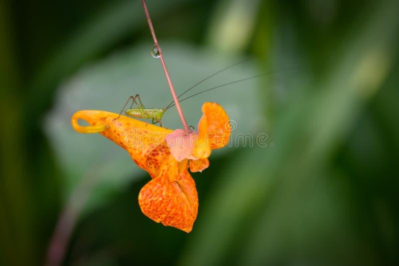 Lesser Bush Katydid obsiadanie Na Pomarańczowym Jewelweed zdjęcie royalty free