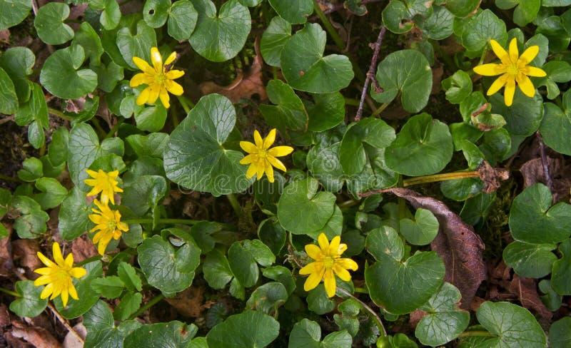 Lesser Celandine en primavera fotos de archivo libres de regalías