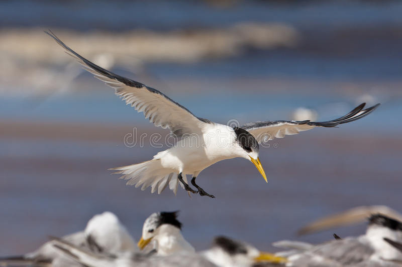 Lesser crested tern stock images