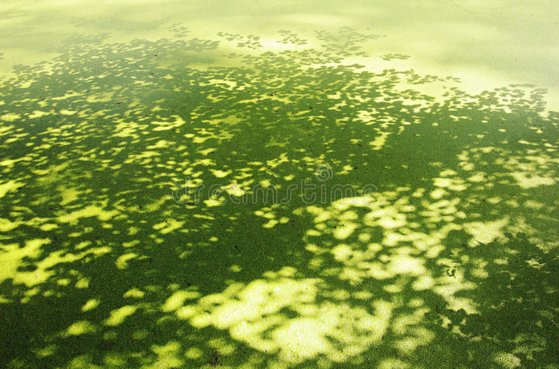 Lesser duckweed and shadow of tree royalty free stock photos