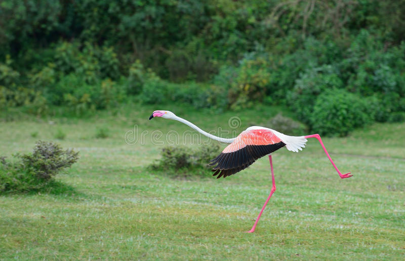 Download Lesser Flamingo stock photo. Image of wings, takeoff - 26636160