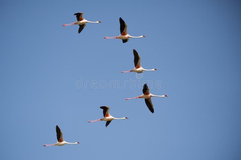 Lesser Flamingo fotografia de stock