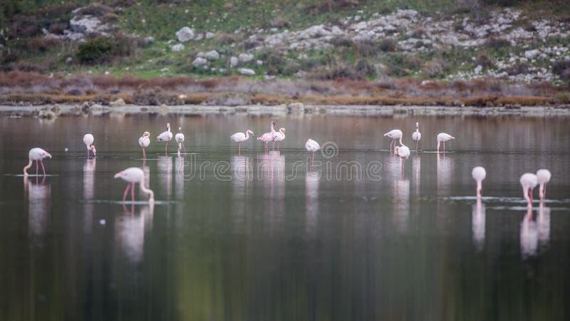 Lesser Flamingo Feeding Among Greater flamingo fotografering för bildbyråer