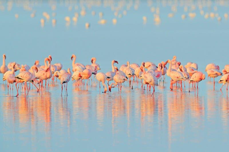 Lesser Flamingo, menor de Phoeniconaias, multitud del pájaro rosado en el agua azul Escena de la fauna de la naturaleza salvaje M fotografía de archivo libre de regalías