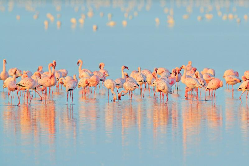 Lesser Flamingo, Phoeniconaias minor, flock of pink bird in the blue water. Wildlife scene from wild nature. Flock of flamingos royalty free stock photography