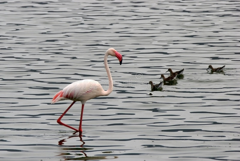 Lesser Flamingo wading in water royalty free stock photography