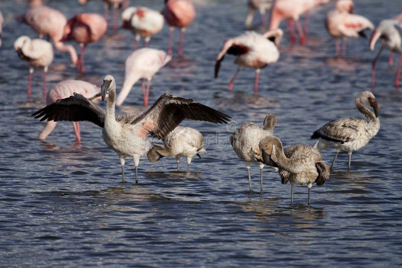 Download Lesser Flamingo Young, Lake Nakuru Stock Photo - Image: 11193010