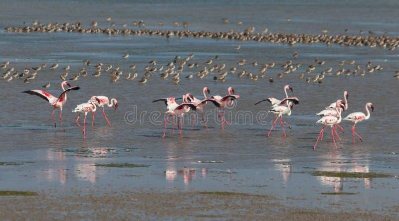 Lesser Flamingoes arkivfoto