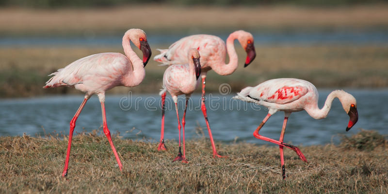 Lesser Flamingoes fotografia de stock royalty free