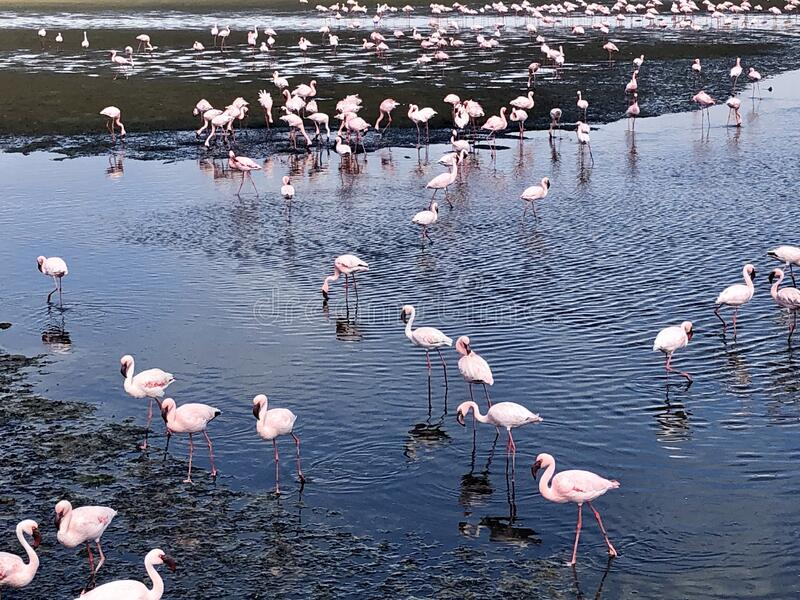 Lesser flamingoes royalty free stock image