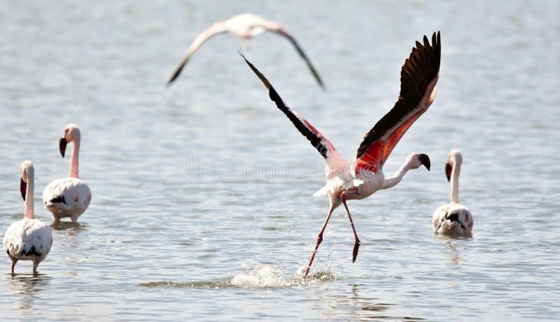Lesser Flamingos image stock