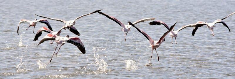 Lesser Flamingos image libre de droits