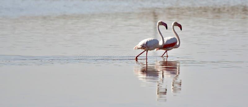 Lesser Flamingos photographie stock libre de droits