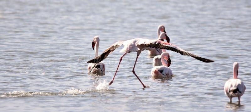 Lesser Flamingos photographie stock