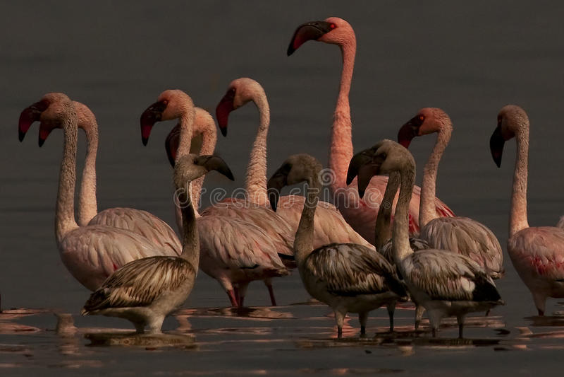 Lesser Flamingos photos stock