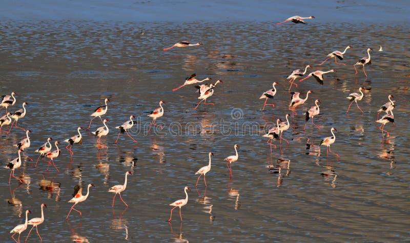 Lesser Flamingos Flamants sur l'eau du lac Natron au coucher du soleil Silhouette d'homme se recroquevillant d'affaires photos libres de droits