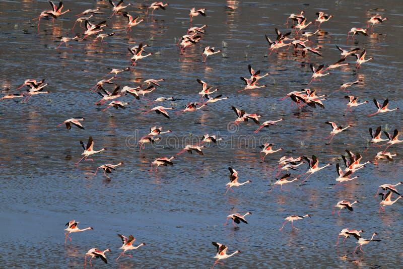 Lesser Flamingos Flamants sur l'eau du lac Natron au coucher du soleil Silhouette d'homme se recroquevillant d'affaires image stock