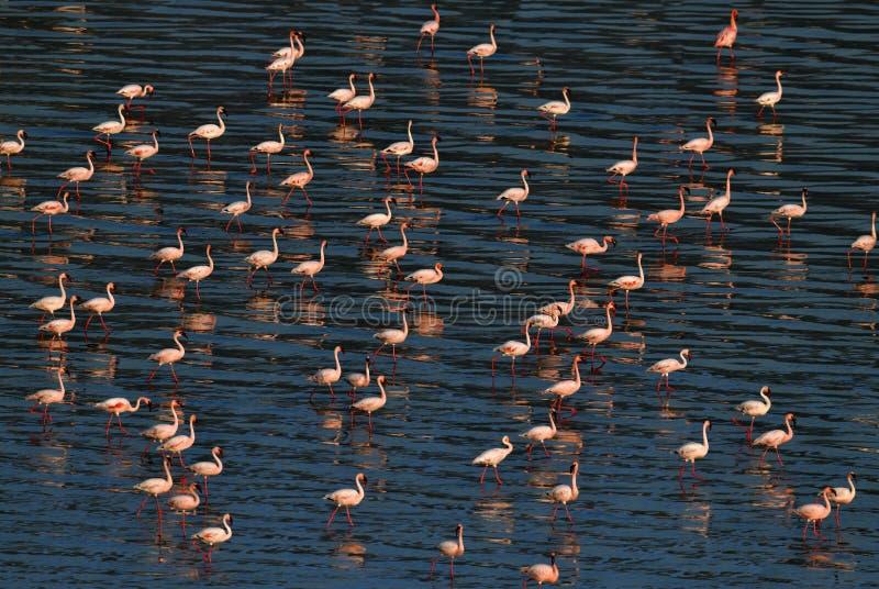 Lesser Flamingos Flamants sur l'eau du lac Natron au coucher du soleil Silhouette d'homme se recroquevillant d'affaires photos stock