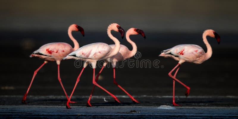 Lesser Flamingos Nom scientifique : Mineur de Phoenicoparrus images libres de droits