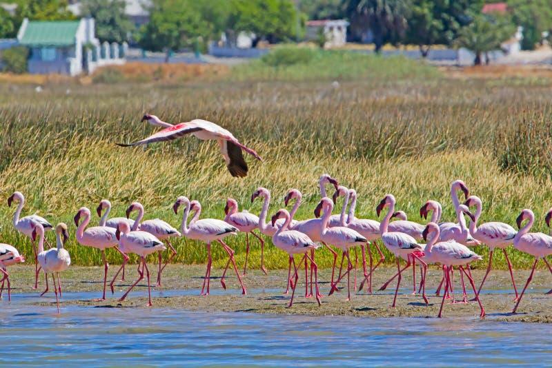 Lesser Flamingos rose sur la rivière d'iceberg images stock
