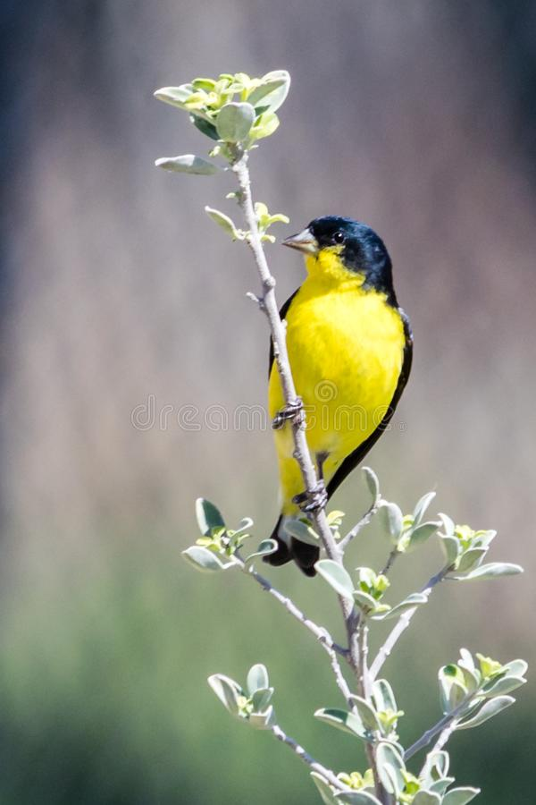 Lesser Goldfinch Resting auf Texas Sage stockfotos