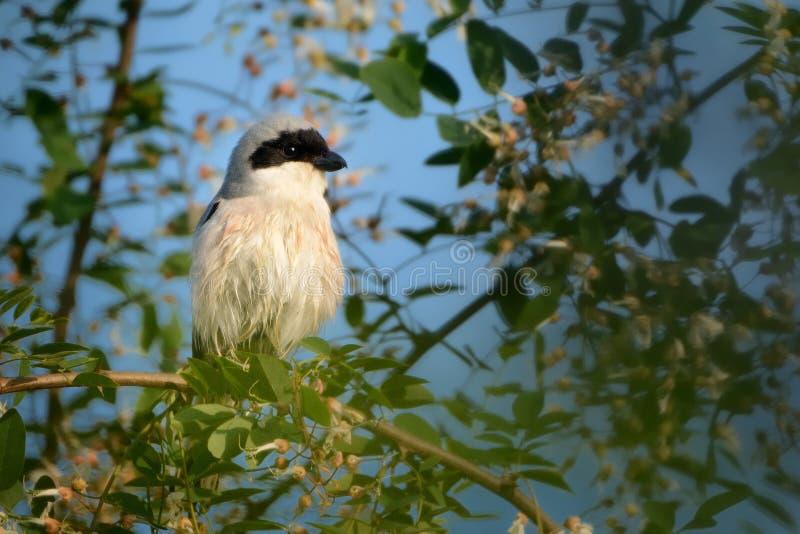 Lesser Gray Shrike et x28 ; Minor& x29 de Lanius ; photo stock
