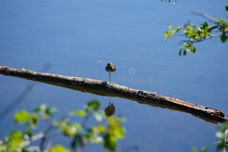 Download Lesser Greater Yellow Legs Bird Stock Photo - Image of palmer, double: 32161454
