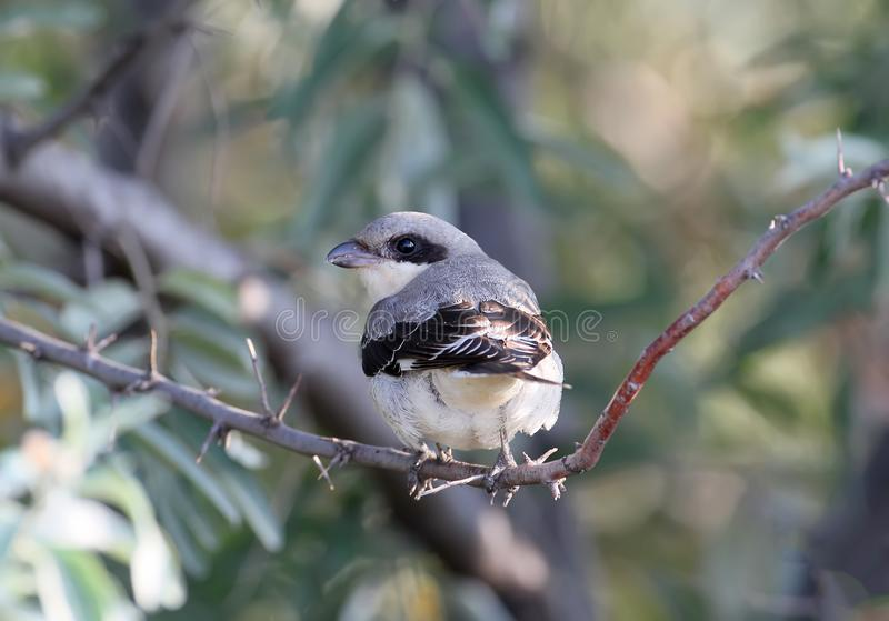 The lesser grey shrike Lanius minor. The bird sits on a branch and looks into the camera. Taken from the back stock image