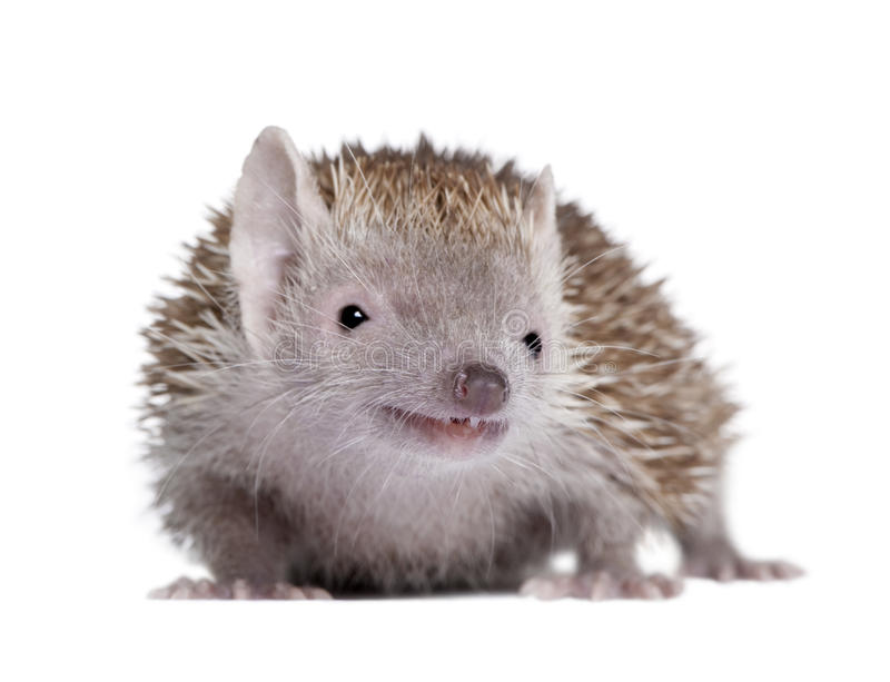 Lesser Hedgehog Tenrec against white background stock images