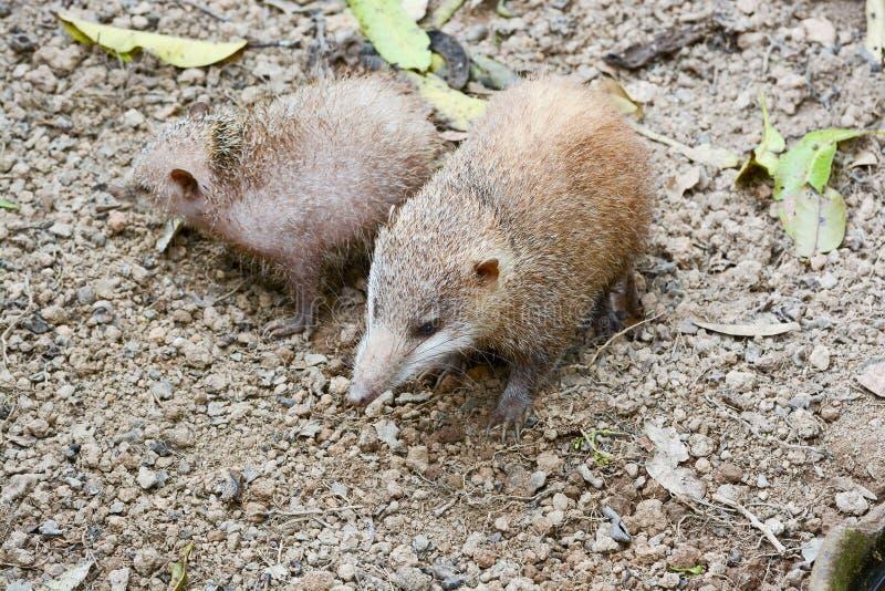 Lesser Hedgehog Tenrec, telfairi del Echinops foto de archivo