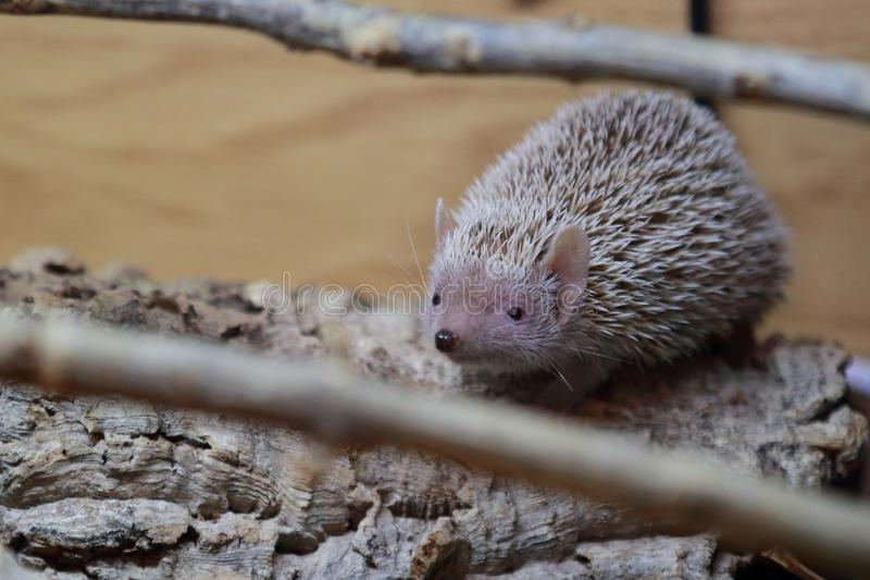 Lesser hedgehog tenrec royalty free stock image
