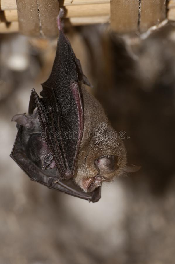 Lesser Horseshoe Bat with its young Rhinolophus hipposideros, royalty free stock photo