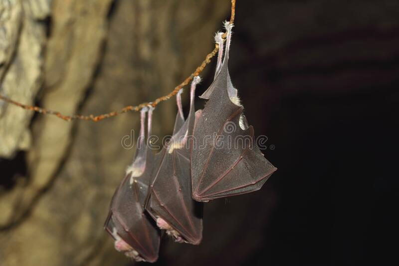 Lesser horseshoe bat, Rhinolophus hipposideros, in the nature cave habitat stock photography