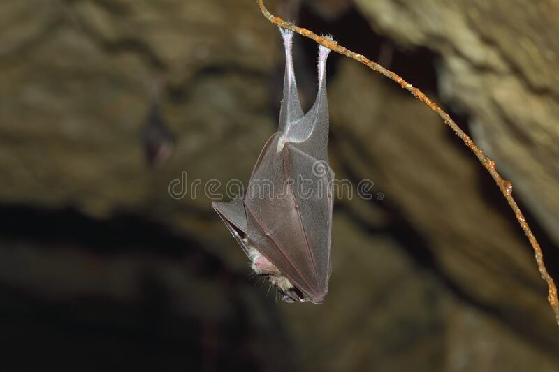 Lesser horseshoe bat, Rhinolophus hipposideros, in the nature cave habitat royalty free stock photos