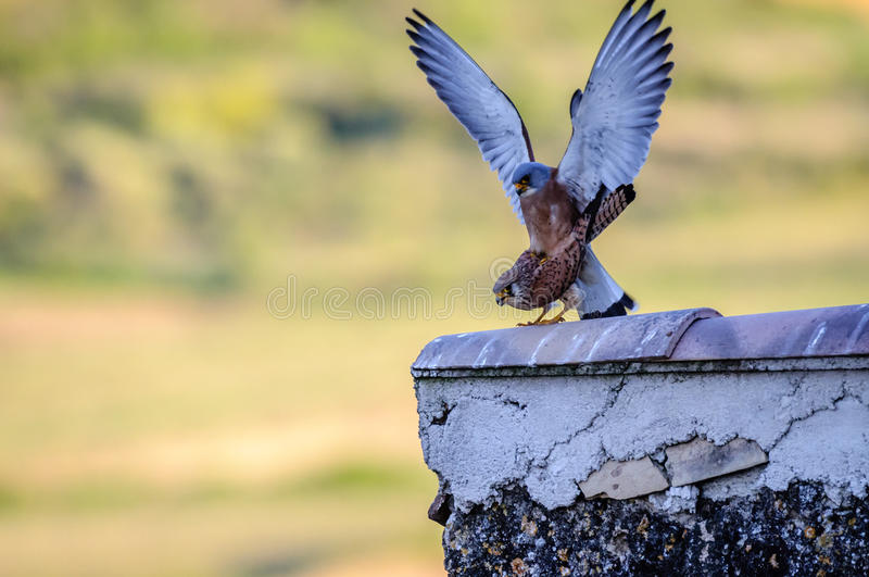 Lesser Kestrel female and male mating royalty free stock photography