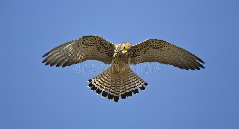 Hovering Lesser Kestrel. A lesser kestrel is hovering stock photography