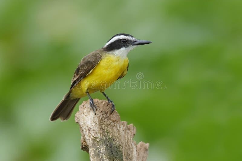 Download Lesser Kiskadee était Perché Sur Un Tronçon - Gamboa, Panama Image stock - Image du prairie, faune: 87707747