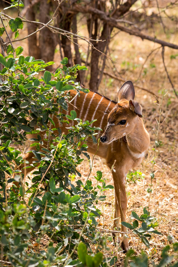 Lesser Kudu Hiding femenino en la sabana de Suráfrica, parque de Kruger imágenes de archivo libres de regalías