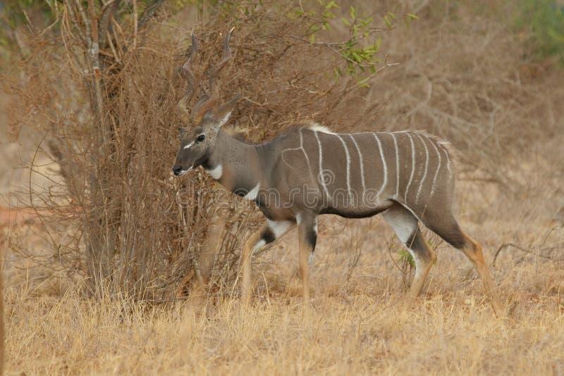 Lesser Kudu, Tragelaphus royalty free stock images