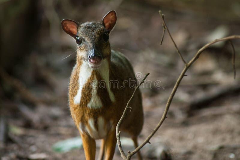 Lesser Mouse Deer photo libre de droits