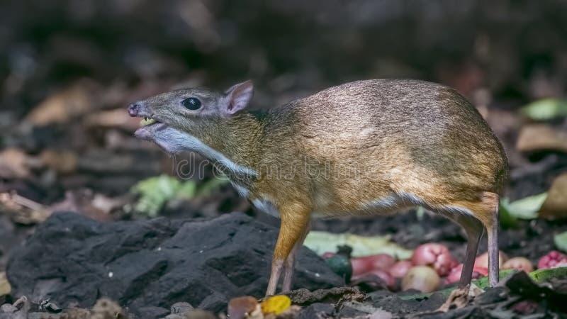 Lesser Mouse Deer Eating Fruit foto de archivo