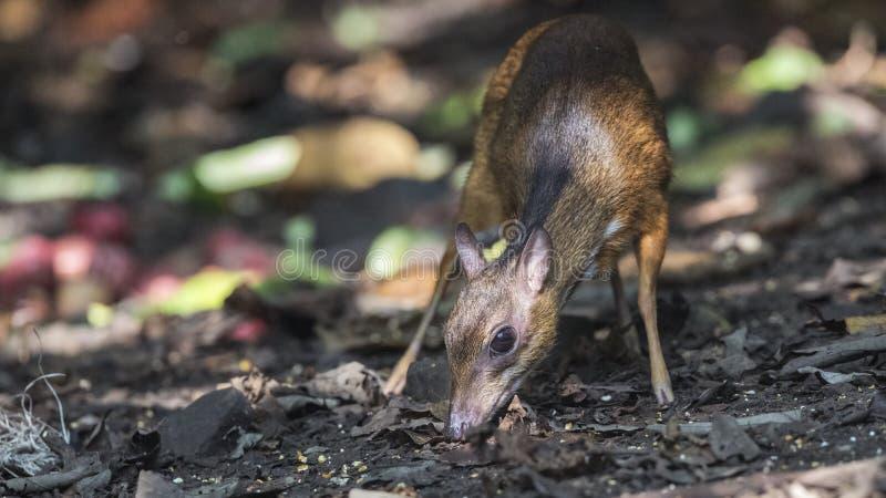 Lesser Mouse Deer Eating Fruit fotografía de archivo